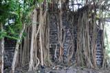 Ruins of a stone wall engulfed by a banyan tree, Balaclava
