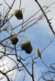 Village Weaver Bird Nests, Mauritius