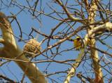 Village Weaver (Ploceus cucullatus) and nest, Mauritius