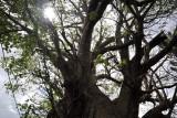 Giant tree, Arsenal, Mauritius