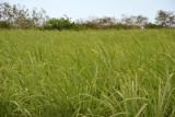 Sugar cane field between Arsenal and Balaclava