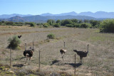The area around Oudtshoorn is famous for farming ostrich