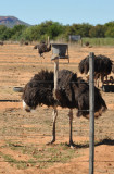 Ostrich putting on a display
