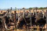 Safari Ostrich Farm, Oudtshoorn