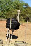 Male ostrich on the road to Highgate
