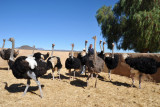 Creating havoc in the ostrich pen at Highgate