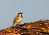House Sparrow (Passer domesticus) Nepal