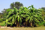 Banana trees around Sauraha, Nepal