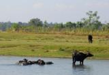 Water buffalo, Central Terai, near Sauraha