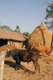Farm yard, Central Terai, near Sauraha