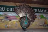 Peacock dance, Tharu Culture Programme, Sauraha, Central Terai