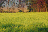 Field of yellow flowers, Central Terai