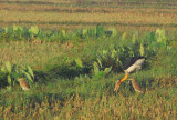 Lesser Adjutant and pond herons