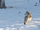 Wolf 80