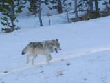 Wolf 90