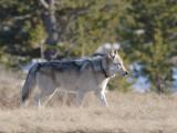 Wolf 100