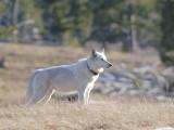 Wolf 110