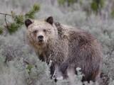 Bear 420