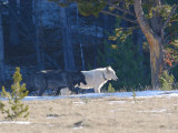 Wolf 155