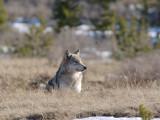 Wolf  115