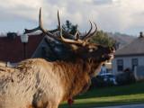 Elk 90
