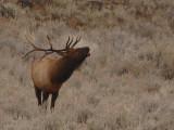 Elk 60