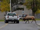 Elk 30