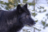 Wolf  210