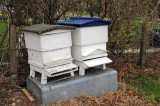 WBC Hives