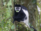 black-and-white colobus monkey  oostelijke franjeaap  Colobus guereza