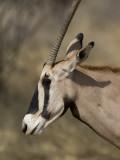 beisa oryx  Oryx gazella beisa
