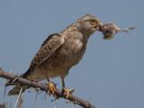 greater kestrel  grote torenvalk  Falco rupicoloides