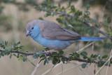 blue waxbill  angolees blauwfazantje  Uraeginthus angolensis