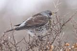 fieldfare  kramsvogel  Turdus pilaris