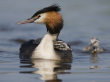 great crested grebe  fuut  Podiceps cristatus
