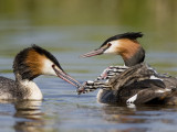 great crested grebe(Podiceps cristatus NL: fuut)
