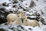 Dall's Sheep Photos