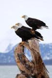 Bald Eagle Photos Of Alaska