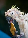 Sulphur crested cockatoo with psittacine circoviral disease