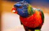 Rainsoaked rainbow lorikeet