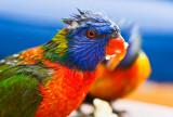 Wet rainbow lorikeet