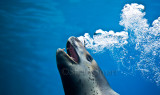 Leopard seal with bubbles