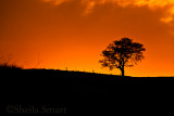 Tree at sunrise in top paddock