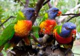 Four Rainbow lorikeets
