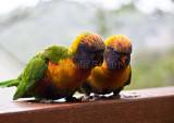 Young rainbow lorikeets