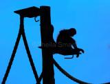 Spider monkey in silhouette