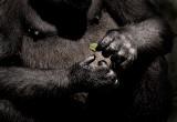 Lowland gorilla hands