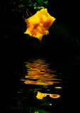 Yellow Hibiscus reflection