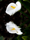 Calla lily in flood (Zantedeschia)