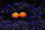 Clown fishes abstract